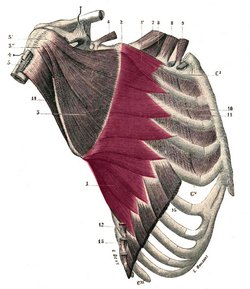 Serratus magnus muscle - Image modified from the original by Henry VanDyke Carter, MD. Public domain